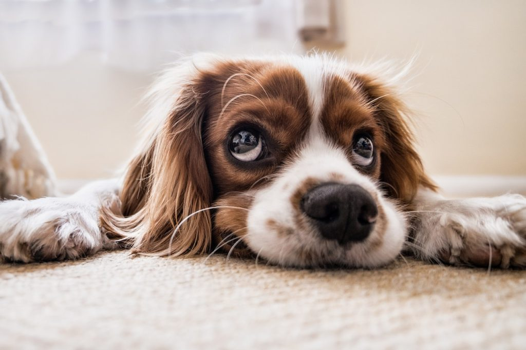 Excellent spaniel dog splayed out on the carpet looking a little nervous.